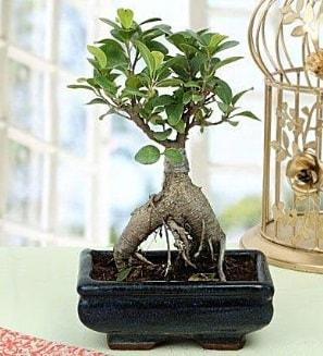 Appealing Ficus Ginseng Bonsai  Kastamonu anneler günü çiçek yolla
