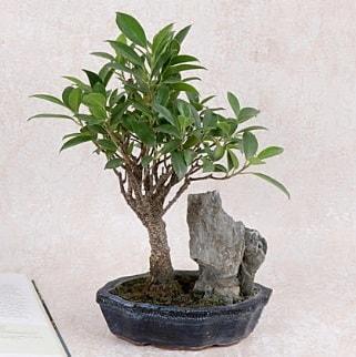Japon ağacı Evergreen Ficus Bonsai  Kastamonu çiçek gönderme sitemiz güvenlidir