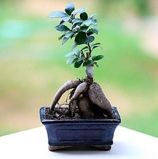 Marvellous Ficus Microcarpa ginseng bonsai  Kastamonu çiçek siparişi vermek