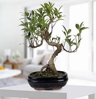 Gorgeous Ficus S shaped japon bonsai  Kastamonu yurtiçi ve yurtdışı çiçek siparişi