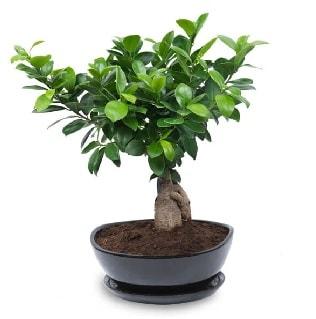 Ginseng bonsai ağacı özel ithal ürün  Kastamonu internetten çiçek satışı
