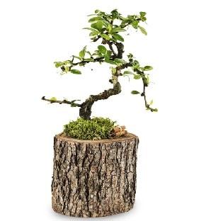 Doğal kütükte S bonsai ağacı  Kastamonu çiçek satışı