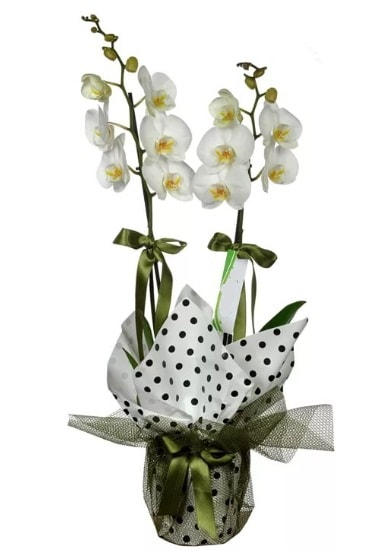 Çift Dallı Beyaz Orkide  Kastamonu 14 şubat sevgililer günü çiçek
