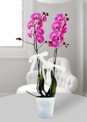 Çift dallı mor orkide  Kastamonu çiçekçiler