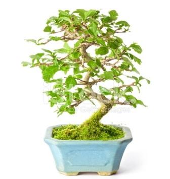 S zerkova bonsai kısa süreliğine  Kastamonu İnternetten çiçek siparişi