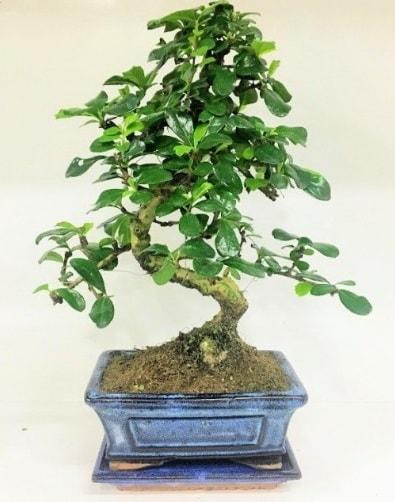 S Bonsai japon ağacı bitkisi  Kastamonu uluslararası çiçek gönderme