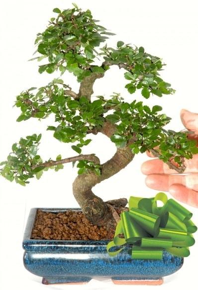 Yaklaşık 25 cm boyutlarında S bonsai  Kastamonu çiçek siparişi sitesi