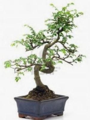 S gövde bonsai minyatür ağaç japon ağacı  Kastamonu çiçek satışı