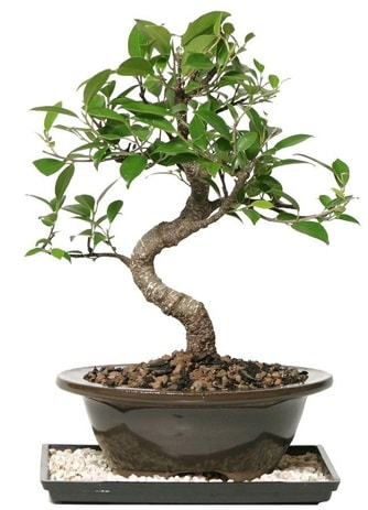 Altın kalite Ficus S bonsai  Kastamonu çiçekçi telefonları  Süper Kalite