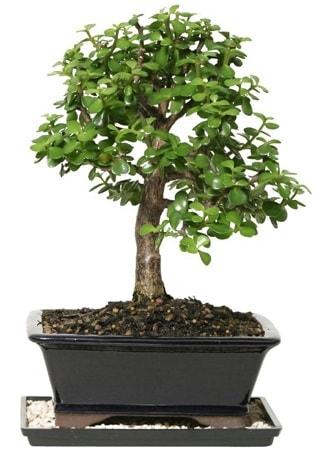 15 cm civarı Zerkova bonsai bitkisi  Kastamonu çiçek siparişi sitesi