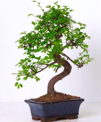S gövdeli bonsai minyatür ağaç japon ağacı  Kastamonu çiçek gönderme sitemiz güvenlidir