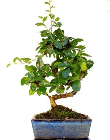 S gövdeli carmina bonsai ağacı  Kastamonu çiçek yolla  Minyatür ağaç