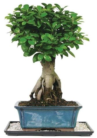Bonsai Ginsing Grafted Ficus Bonsai  Kastamonu çiçek yolla