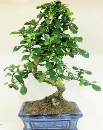 Zelkova S gövdeli Minyatür ağaç Bonzai  Kastamonu çiçek gönderme