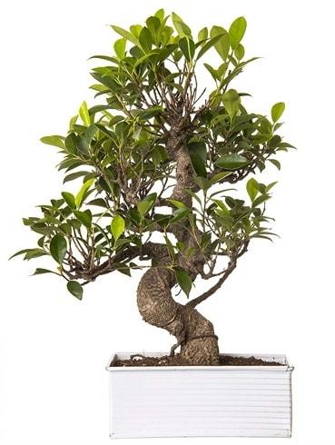 Exotic Green S Gövde 6 Year Ficus Bonsai  Kastamonu çiçek gönderme sitemiz güvenlidir
