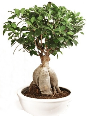 Ginseng bonsai japon ağacı ficus ginseng  Kastamonu İnternetten çiçek siparişi
